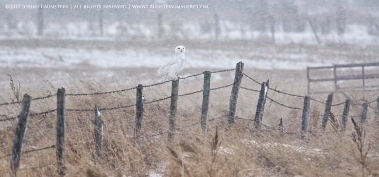 A Snowy Owl perches on a weathered fence in a fierce snowstorm in the Canadian prairies near Calgary, Alberta, Canada. Owl was not baited, lured, called in or manipulated in any way. Photographed by Josiah Launstein, www.launsteinimagery.com